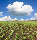 Field with sunflower sprouts Stock Image