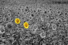 Field of Sunflower in sunlight partly colored Royalty Free Stock Photos