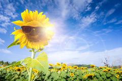Field sunflower wear glasses protect the sun. Royalty Free Stock Photography