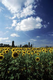 Field of sunflowers 1. Field of sunflowers royalty free stock photography