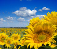 Field of sunflowers. Wide field of yellow sunflowers with first front Royalty Free Stock Photos