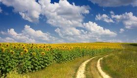 Field of sunflowers. Under sunny skies Stock Photo