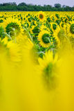 Field of sunflowers. Field on Ukraine near Donetsk Royalty Free Stock Photos