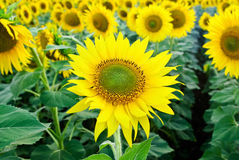 Field of sunflowers. Field on Ukraine near Donetsk Stock Photo