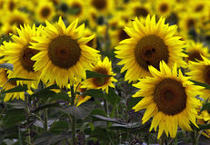 Field of sunflowers. Sunflowers in August Stock Images