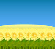 Field of sunflowers. Vector illustration of a wide field of sunflowers, related to agriculture, farming and oil production Royalty Free Stock Photography