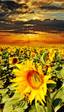 Field with sunflowers Royalty Free Stock Photo