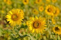 Field of sunflowers. Endless field of yellow sunflowers Stock Photo