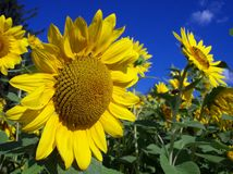Field of Sunflowers. A field of sunflowers Stock Photography