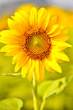 Field of sunflowers. Closeup in Thailand Stock Images