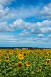 A field of sunflowers Stock Photo