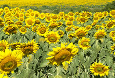 Field of Sunflowers Stock Photography