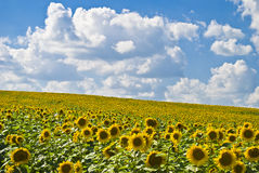 A field of sunflowers. Field of sunflowers on a background of blue sky Royalty Free Stock Photography