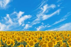 Field sunflowers Stock Images
