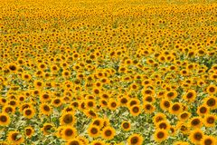 Field of sunflowers Royalty Free Stock Photos