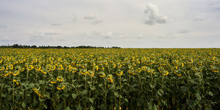 Field of sunflowers. Sunflowers field under cloudy sky Royalty Free Stock Image