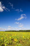 A field of sunflowers Royalty Free Stock Images