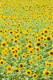 Field with sunflowers Royalty Free Stock Images