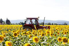 Field with sunflowers Stock Images