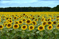 Field of sunflowers. Sun shining on a sunflower field in france Royalty Free Stock Images