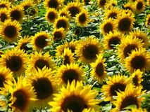 Field of sunflowers Royalty Free Stock Image