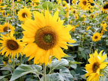 Field of sunflowers Royalty Free Stock Images