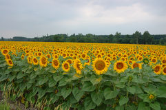 Field of sunflowers. A field of sunflowers extending as far as the eye can see stock image