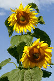 Field of sunflowers. And blue sky Stock Photo