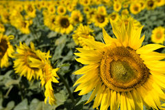 Field of sunflowers. Multitude of sunflowers is growing on a field Royalty Free Stock Images