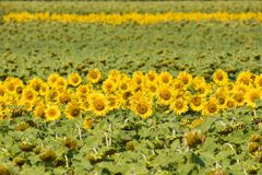 Field of sunflowers. royalty free stock image