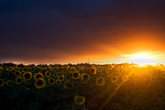 Field of sunflowers. At the sunset Stock Images