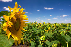 Field of sunflowers. And blue sky Stock Photography