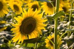 Field of Sunflowers.. Sunflowers in the Izmir/Turkey Stock Photo