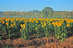 Field of Sunflowers. Rural field full of rows of sunflowers Royalty Free Stock Photo