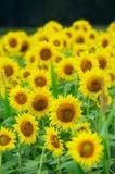 Field of sunflowers Stock Photo