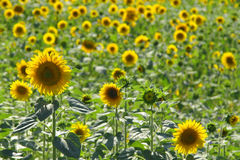 Field of sunflowers Stock Images