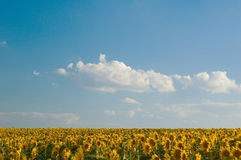 Field of sunflowers. Summer lanscape with a field of sunflowers Stock Image