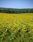 Field of Sunflowers. In Nova Scotia, Canada stock images