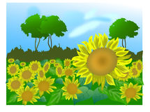 Field of sunflowers. Field of yellow sunflowers. Landscape Stock Photo