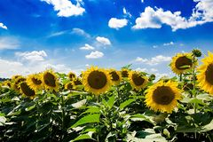 Field with sunflowers against the blue sky. Beautiful landscape nature Stock Photography