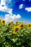 Field with sunflowers against the blue sky. Beautiful landscape nature Royalty Free Stock Photos