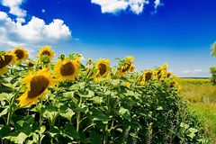 Field with sunflowers against the blue sky. Royalty Free Stock Photo