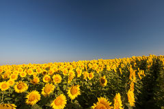 Field of sunflowers against the blue sky Royalty Free Stock Photography