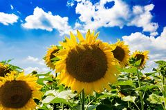 Field with sunflowers against the blue sky. Beautiful landscape nature Stock Photos