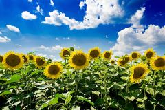 Field with sunflowers against the blue sky. Royalty Free Stock Images