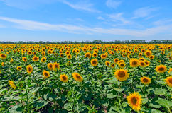 Field of sunflowers against the blue sky in Russia. Stock Photos