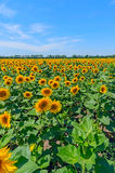 Field of sunflowers against the blue sky in Russia. Royalty Free Stock Photo
