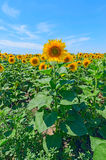 Field of sunflowers against the blue sky in Russia. Royalty Free Stock Photography
