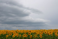 Field of sunflowers. Against a rainy sky Royalty Free Stock Photo