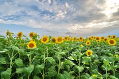 Field of sunflowers. A field of sunflowers with all the flowers turned in the same direction on a summer evening Royalty Free Stock Images